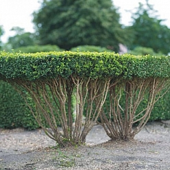Buxus sempervirens CEILLING