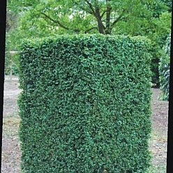 Buxus sempervirens Cube