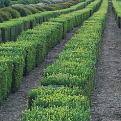 Buxus sempervirens SMALCUBE