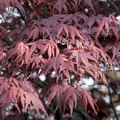 Arbore foios Acer Palmatum Blood Good