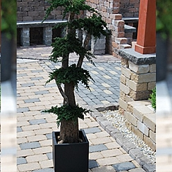 Bonsai Juniperus stabilizat 130 cm