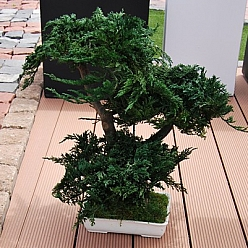 Bonsai juniperus stabilizat 50 cm