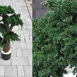 Bonsai juniperus stabilizat 80 cm